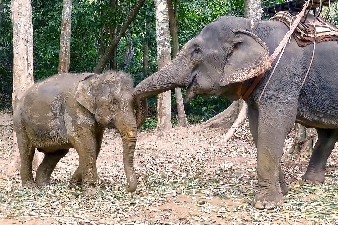 Should You Go Elephant Trekking In Krabi Your Krabi