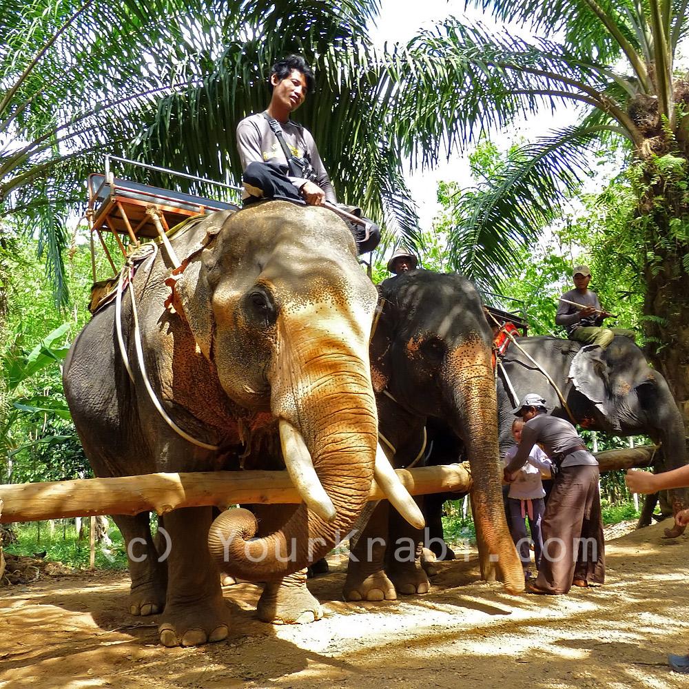 Elephants line up to be fed